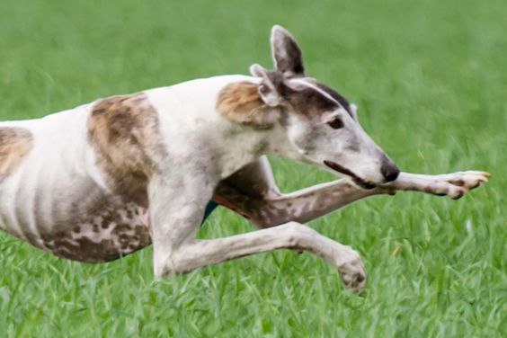 Save Greyhounds & Galgos of Portugal