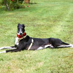 Salve a tutti, sono un greyhound