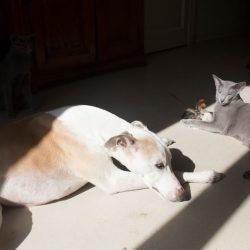 L'Inserimento di un levriero in una casa con gatti