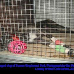 Riguardo al greyhound racing – Traduzione pagina di Grey2K USA