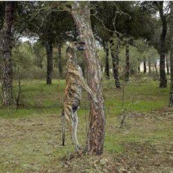 Novembre 2013: emessa la prima sentenza di condanna in Spagna a carico di un cacciatore che ha impiccato i suoi galgo
