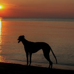 A Greyhound's Song