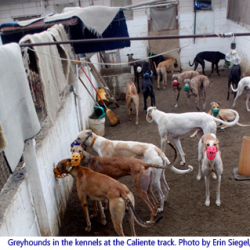 Il greyhound racing in Messico