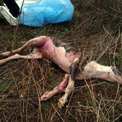 Il massacro dei galgo e dei podenco in Spagna