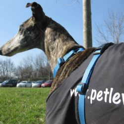 Please help support Pet Levrieri with a donation