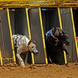 Legal Dog Racing Considered in South Africa