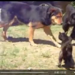 Cani pacificatori separano i gatti che litigano
