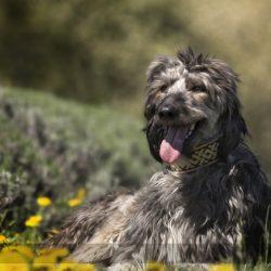 Perché diamo in adozione Lurcher e non solo Greyhound