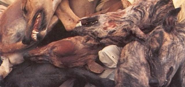 Il triangolo della morte per i grey e galgo – Dall'Australia all'Asia e al Sud America. Dopati, sfruttati fino all'osso e poi ammazzati.