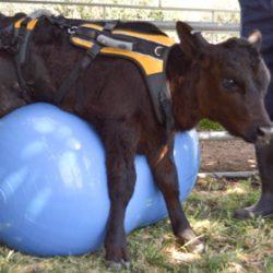 Una dolcissima cucciola di mucca ci ricorda perché dovremmo tenere gli animali fuori dal piatto