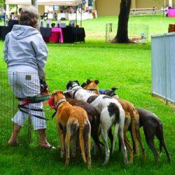 L'importanza delle famiglia foster per i greyhound ex racer