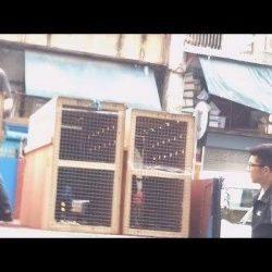 Terribili prove schiaccianti – Sei greyhound irlandesi esportati in Cina per essere sfruttati nel cinodromo di Macao