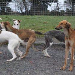 Festa di consegna dei greyhound e lurcher – 28 maggio 2016