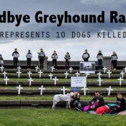 In Nuova Zelanda, ogni anno, 600 Greyhounds vengono uccisi dall' Industria delle corse!