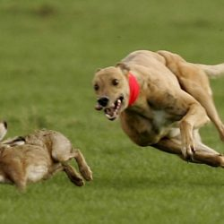 #BreakingNews⚠ #Ireland #HareCoursing – Tre cani rompono i recinti e uccidono 78 lepri