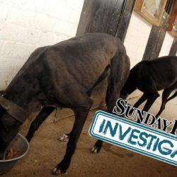 Inchiesta Sunday Post – Greyhound costretti ad ingrassare per farli perdere nelle corse.