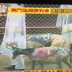 PLEASE SIGN AND SHARE WIDELY the international petition 'Save Macau's Image, Save Greyhounds'