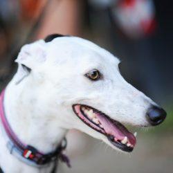 I greyhound e lurcher in adozione – Arrivo il 30 settembre