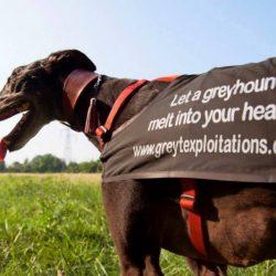 Poche parole per chi si avvicina al mondo dei levrieri rescue e ha bisogno di cominciare a capire: noi e il greyhound racing