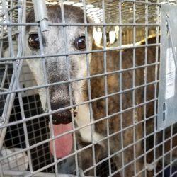 Greyhound smarrita, ritrovata dopo cinque anni. La vicenda incredibile di Cassie.