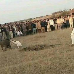 Greyhound esportati in PAKISTAN usati nella caccia ai cinghiali! NO all'ESPORTAZIONI dei GREYHOUND in PAKISTAN!