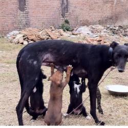 Greyhounds esportati dall'Irlanda in Asia per essere utilizzati come macchine per gli allevamenti!