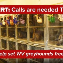 WV Australia : Allarme rosso – I greyhounds del West Virginia hanno urgentemente bisogno del vostro aiuto per sbloccare il Disegno di Legge SB 437