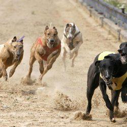 Cina – Come può essere la vita di un cane nel mondo delle corse clandestine