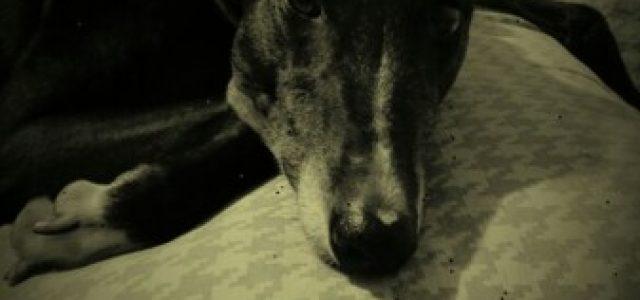Mags, una greyhound irlandese