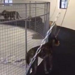 Dog Walker o Walking Machine – Dispositivo per allenare i grey. In realtà strumento di tortura.