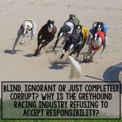 Australia – Ciechi, ignoranti o solo corrotti? Perché l'Industria del Greyhound Racing si rifiuta di accettare le proprie responsabilità…