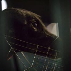 Australia: I trainer continuano a somministrare ai loro greyhounds droghe pericolose – tra cui cocaina – da quando il divieto delle corse è stato revocato