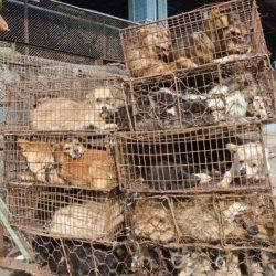 Commercio di carne di cane in Cina, tra le vittime ci sono anche greyhound.