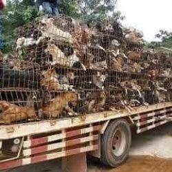 China – Greyhounds from the Dog Meat Trade