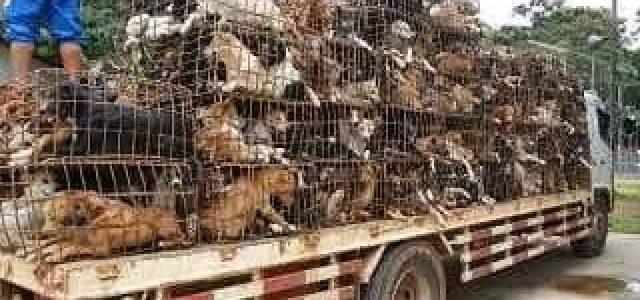 Cina – levrieri al mercato della carne di cane