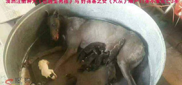 Cucciolata di greyhound in un allevamento cinese. Che fine faranno?!