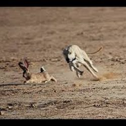 This is Hare Coursing Pakistan