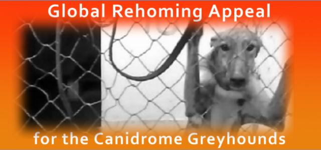 "Anima Macau, Grey2K USA e Pet levrieri lanciano l'appello mondiale: ""Salviamo tutti insieme i Greyhound di Macao"""