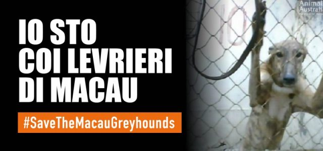 Come salvare i 650 levrieri del Canidrome (Macao), il peggiore cinodromo al mondo