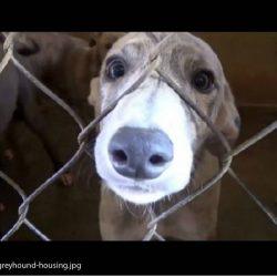 L'orribile vita dei greyhounds nel Sud Est Asiatico