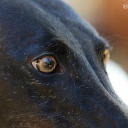 L'industria delle corse come sistema di sfruttamento dei greyhound finalizzato al profitto.
