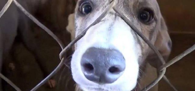 Grido d'allarme anche dal GRAI contro l'esportazione dei greyhound irlandesi in Cina, Macao, Spagna, Argentina, Cile e Pakistan.