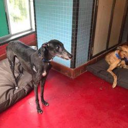 SCMP: Battaglia finale per salvare i greyhound sfruttati di Macau.