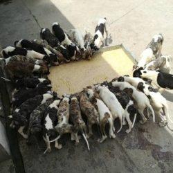 Cina: gli allevamenti di levrieri stanno sfuggendo ad ogni controllo!