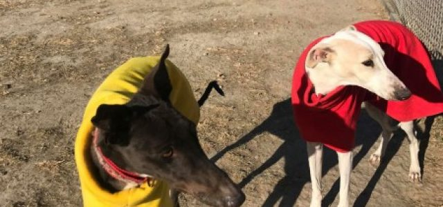 A happy ending: Prince, King and Phoebe, 3 greyhounds rescued from the dog meat trade in China, in Italy on 10th Dec.
