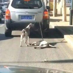 CINA: disumano trattamento a cui sono sottoposti due levrieri legati dietro ad un'auto e trascinati nel traffico urbano
