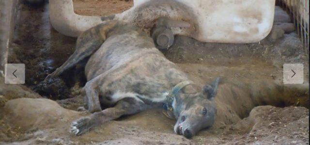 Indagine PETA: Texas, Greyhound scartati dalle corse tenuti prigionieri, maltrattati e sfruttati per il loro sangue