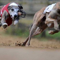 """""""Sete di denaro"""" rende più difficile il controllo dell'esportazione dei greyhound"""