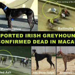 FIVE OF THE NINE EXPORTED IRISH GREYHOUNDS PRESUMED DEAD AT THE MACAU CANIDROME