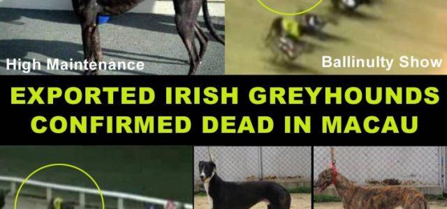 Scomparsi 5 dei 9 grey irlandesi esportati al Canidrome. Quasi sicuramente morti.